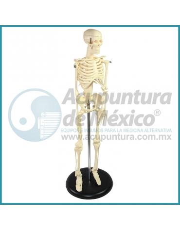 MODELO DE MINI ESQUELETO HUMANO, 45 CM.