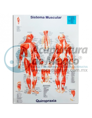 GRÁFICA SISTEMA MUSCULAR, DOBLE CARTA